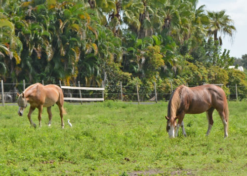 HTR's happy horses grazing together